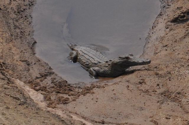 Crocodile rivière Kruger