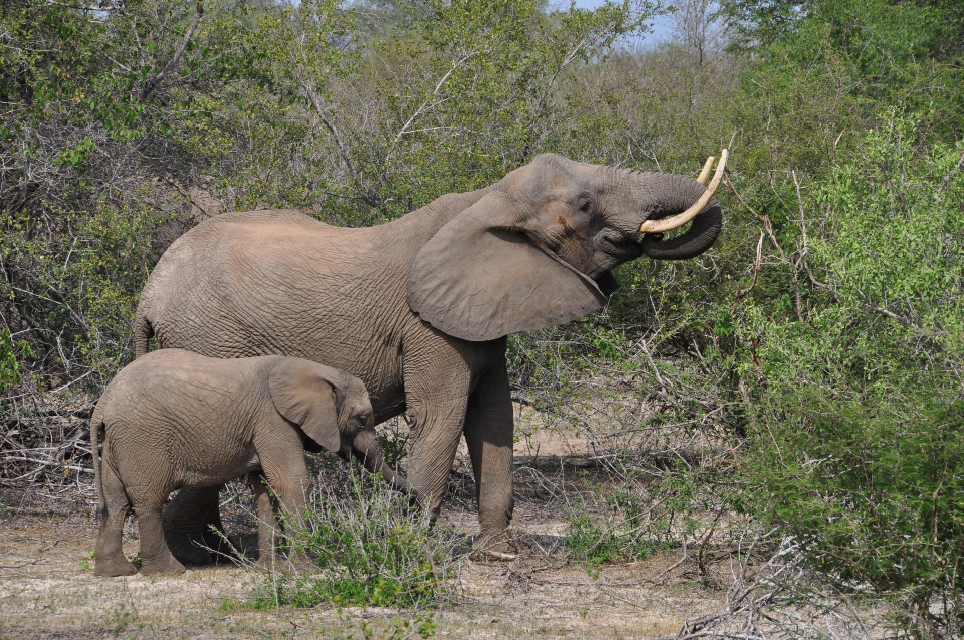 Eléphante et son petit
